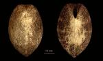 Pourtalesia aurorae