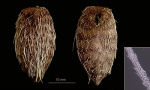Pourtalesia hispida