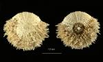 Pseudechinus marionis