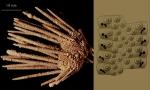 Rhynchocidaris triplopora