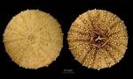 Sterechinus diadema