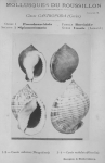 Bucquoy et al. (1882-1886, pl. 07)