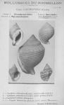 Bucquoy <i>et al.</i> (1882-1886, pl. 09)
