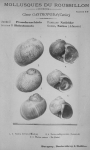 Bucquoy <i>et al.</i> (1882-1886, pl. 17)