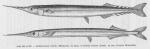 Poll (1947, fig. 116 & 117)