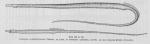 Poll (1947, fig. 123 & 124)
