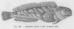 &lt;B&gt;Poll, M.&lt;/B&gt; (1947). Poissons marins. <i>Faune de Belgique</i>, 1. Le Patrimoine du Musée Royal d'Histoire Naturelle de Belgique/Musée Royal d'Histoire Naturelle de Belgique: Brussel. 452 pp.