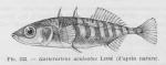 Gasterosteiformes
