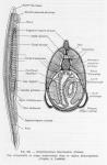 Cephalochordata