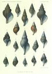 Dautzenberg, Ph.; Fischer, H. (1912). Mollusques provenant des campagnes de l'Hirondelle et de la Princesse-Alice dans les Mers du Nord. Résultats des Campagnes Scientifiques Accomplies sur son Yacht par Albert Ier Prince Souverain