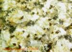 Laevilitorina antarctica