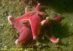 Odontaster validus species scomplex