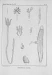 Van Beneden, P.-J. (1850). Recherches sur la faune littorale de Belgique: les Vers Cestoïdes Mém. Acad. R. Sci. Lett. B.-Arts Belg., Collect. 4 XXV: 1-199, plates I-XXIV