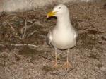 11 juni 2008 - 3 zilvermeeuwen geboren in de volière van het vogelpark in het Provinciaal Natuurpark Zwin