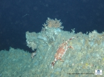 A ridge covered with sponges, corals and a crab