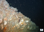 A cliff colonized by oysters