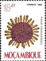 Colobocentrotus atratus