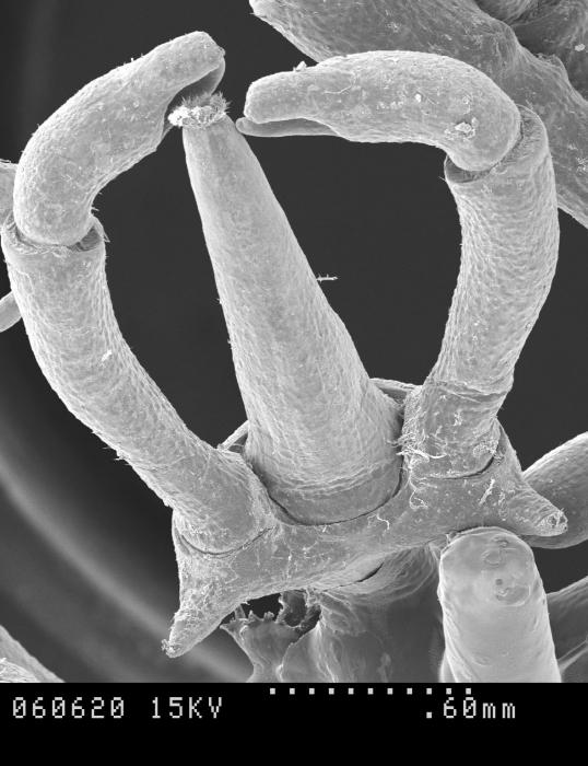 Austropallene brachyura