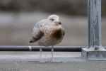 Oiled young herring gull
