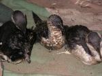 Oiled razorbills