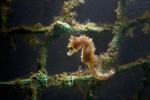 <i>Hippocampus hippocampus</i>, author: Decleer, Misjel