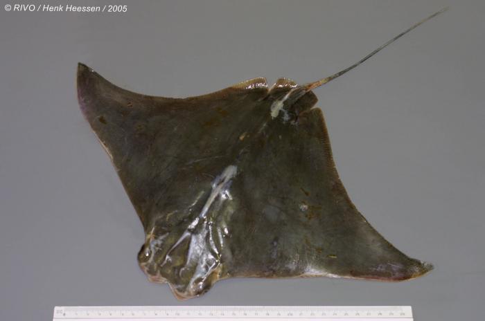 Rhinoptera marginata (Geoffroy Saint-Hilaire, 1817)