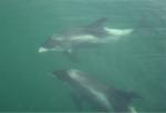 White-beaked dolphin - Lagenorhynchus albirostris, author: Verkempynck Marc