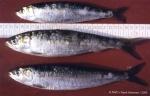 Clupeiformes