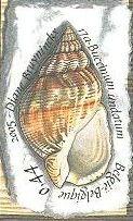 Buccinum undatum