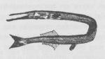 Desnerck (1974, fig. 008)