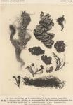 Wainio, Ed.A. (1903). Botanique: Lichens. Résultats du Voyage du S.Y. Belgica en 1897-1898-1899 sous le commandement de A. de Gerlache de Gomery: Rapports Scientifiques (1901-1913). Buschmann: Anvers, Belgium. 46, III plates pp.