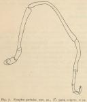 Giltay (1934, fig. 07)