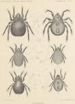 Michael, A.D. (1903). Zoologie: Acarida (Oribatidae). Résultats du Voyage du S.Y. Belgica en 1897-1898-1899 sous le commandement de A. de Gerlache de Gomery: Rapports Scientifiques (1901-1913). Buschmann: Anvers. 6, plate II pp.