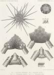 Koehler, R. (1901). Echinides et Ophiures. Résultats du Voyage du S.Y. Belgica en 1897-1898-1899 sous le commandement de A. de Gerlache de Gomery: Rapports Scientifiques (1901-1913). Buschmann: Anvers, Belgium. 1-42,  VIII plates pp.