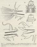 &lt;B&gt;Fauvel, P.&lt;/B&gt; (1936). Polychètes. <i>Résultats du Voyage de la <i>Belgica</i> en 1897-1899 sous le commandement de A. de Gerlache de Gomery: Rapports Scientifiques (1926-1940)</i>. Buschmann: Anvers, Belgium. 44, 4 fig., 1 pl. pp.