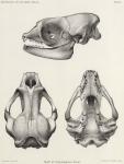 &lt;B&gt;Barrett-Hamilton, G.E.H.&lt;/B&gt; (1901). Zoologie: Seals. <i>Résultats du Voyage du S.Y. <i>Belgica</i> en 1897-1898-1899 sous le commandement de A. de Gerlache de Gomery: Rapports Scientifiques (1901-1913)</i>. Buschmann: Anvers, Belgium. 19, 1 plate pp.