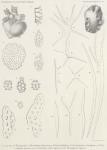 Hérouard, E. (1906). Zoologie: Holothuries. Résultats du Voyage du S.Y. Belgica en 1897-1898-1899 sous le commandement de A. de Gerlache de Gomery: Rapports Scientifiques (1901-1913). Buschmann: Anvers, Belgium. 16, II plates pp.