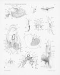 Pelseneer, P. (1911). Les Lamellibranches de l'expédition du Siboga: partie anatomique. Siboga-Expeditie: uitkomsten op zoölogisch, botanisch, oceanographisch en geologisch gebied verzameld in Nederlandsch Oost-Indië 1899-1900 aan