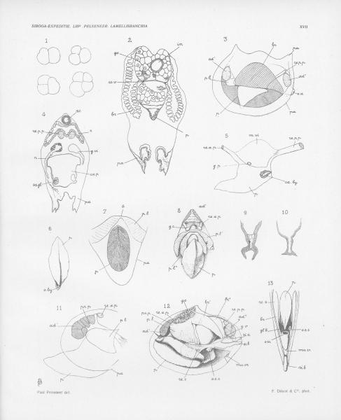 Pelseneer (1911, pl. 17)