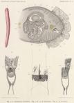 Bürger, O. (1904). Zoologie: Nemertinen. Résultats du Voyage du S.Y. Belgica en 1897-1898-1899 sous le commandement de A. de Gerlache de Gomery: Rapports Scientifiques (1901-1913). Buschmann: Anvers, Belgium. 10, II plates pp.