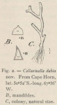 Waters (1904, fig. 2)