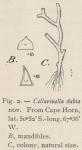 Waters, A.W. (1904). Zoologie: Bryozoa. Résultats du Voyage du S.Y. Belgica en 1897-1898-1899 sous le commandement de A. de Gerlache de Gomery: Rapports Scientifiques (1901-1913). Buschmann: Anvers, Belgium. 114, IX plates pp.