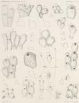 &lt;B&gt;Waters, A.W.&lt;/B&gt; (1904). Zoologie: Bryozoa. <i>Résultats du Voyage du S.Y. <i>Belgica</i> en 1897-1898-1899 sous le commandement de A. de Gerlache de Gomery: Rapports Scientifiques (1901-1913)</i>. Buschmann: Anvers, Belgium. 114, IX plates pp.