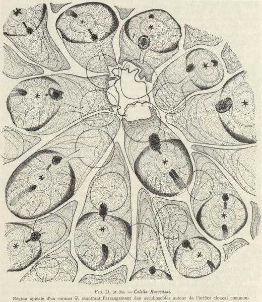 Van Beneden; de Selys Longchamps (1913, fig. D)