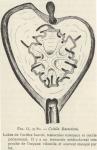 Van Beneden; de Selys Longchamps (1913, fig. G)