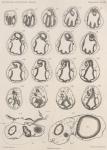 Van Beneden; de Selys Longchamps (1913, pl. 14)