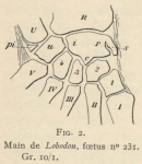 Leboucq (1904, fig. 2)