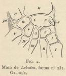Leboucq, H. (1904). Zoologie: Organogénie des Pinnipèdes I. Les extrémités. Résultats du Voyage du S.Y. Belgica en 1897-1898-1899 sous le commandement de A. de Gerlache de Gomery: Rapports Scientifiques (1901-1913). Buschmann: Anvers,