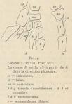 Leboucq (1904, fig. 4)