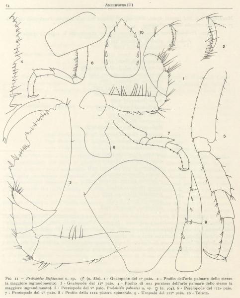 Ruffo (1949, fig. 02)